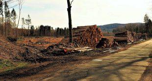 Fichten abgeholzt