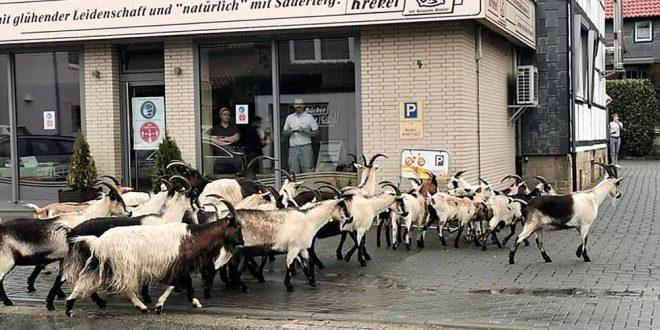 Ziegenherde auf Shoppingtour